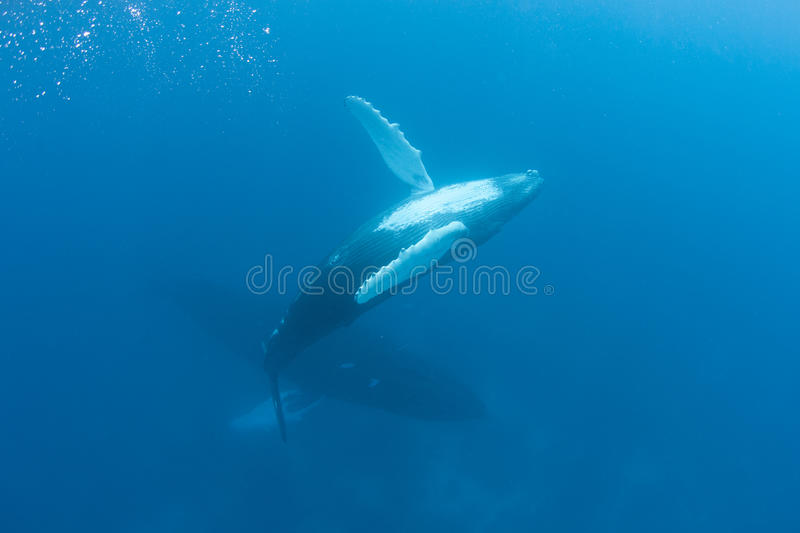 Humpback Whale. A young Humpback whale rolls over as it ascends to the surface of the Caribbean Sea to breathe. Humpbacks migrate from temperate feeding grounds stock photography