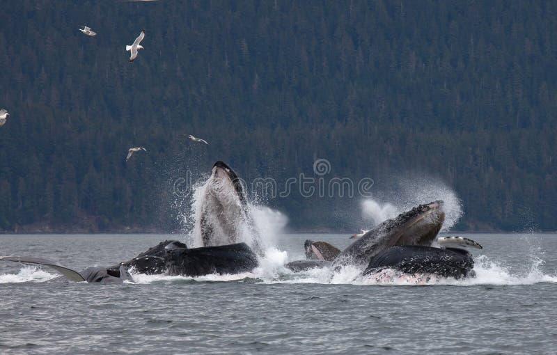 Humpback whales. Pod of humpback whales bubble net feeding off the coast of Juneau, Alaska