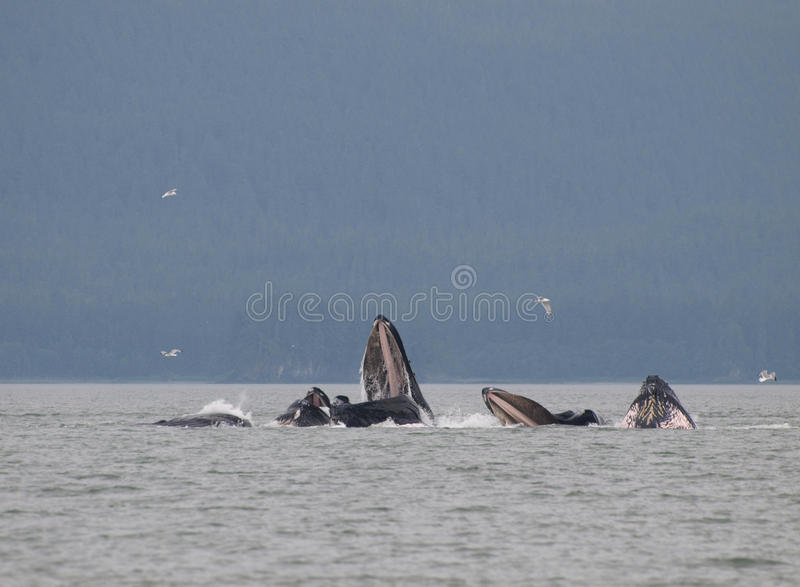 Humpback Whales royalty free stock images
