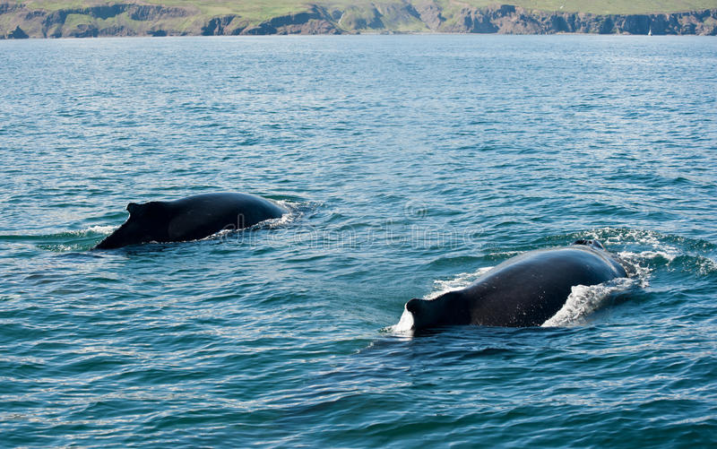 Humpback whales. Two Mighty Humpback whales (Megaptera novaeangliae) seen from the boat near Husavik, Iceland stock photo