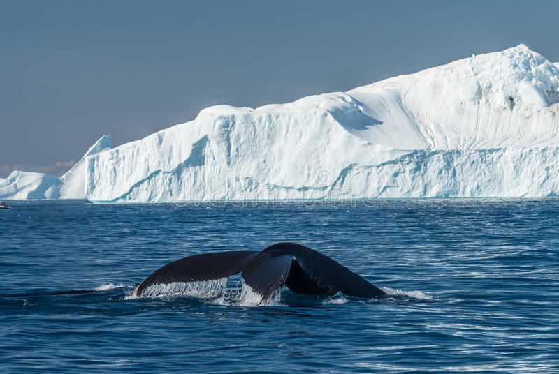 Humpback whales feeding among giant icebergs, Ilulissat, Greenland. Humpback whales merrily feeding in the rich glacial waters among giant icebergs at the mouth stock photo