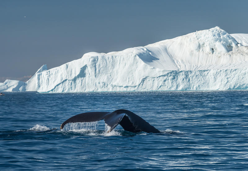 Humpback whales feeding among giant icebergs, Ilulissat, Greenland. Humpback whales merrily feeding in the rich glacial waters among giant icebergs at the mouth royalty free stock image