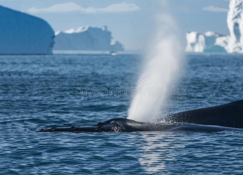 Humpback whales feeding among giant icebergs, Ilulissat, Greenland. Humpback whales merrily feeding in the rich glacial waters among giant icebergs at the mouth stock images