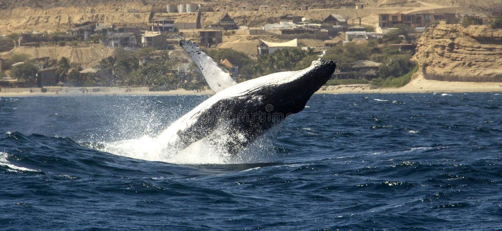 Humpback whales migration routes pacific ocean. During August, September and October you can see the amazing humpback whales migration in Mancora, Per stock photos