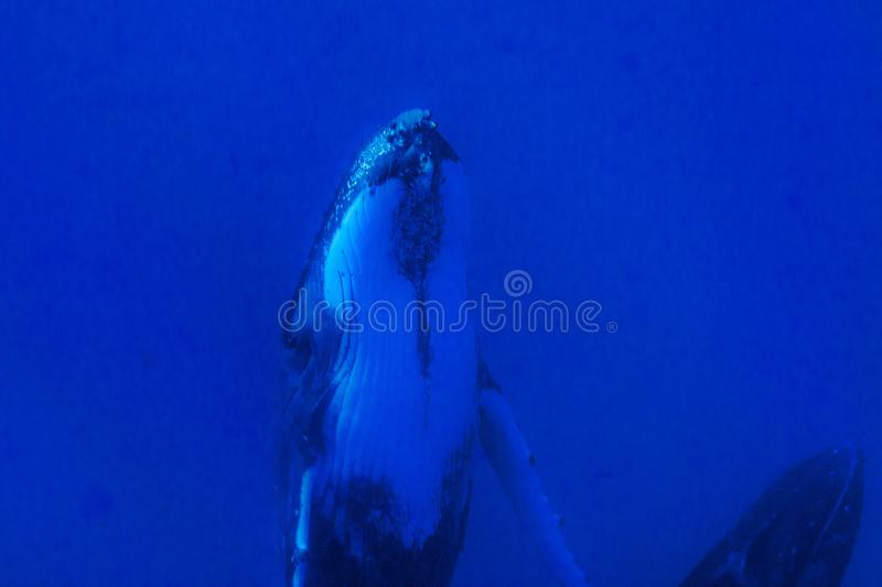 Humpback whales underwater going down in blue polynesian sea stock image