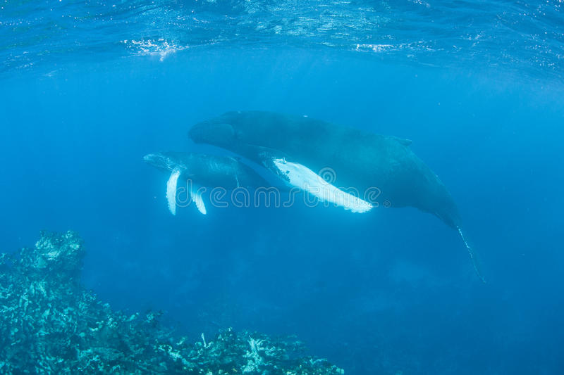 Humpback Whales. A pair of Humpback whales (Megaptera novaeangliae) cruise by a shallow reef in the Caribbean Sea. Atlantic Humpbacks make their way from feeding royalty free stock photo
