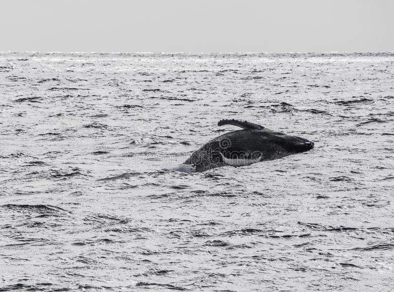 Humpback Whate Breaching in Maui Hawaii royalty free stock photography