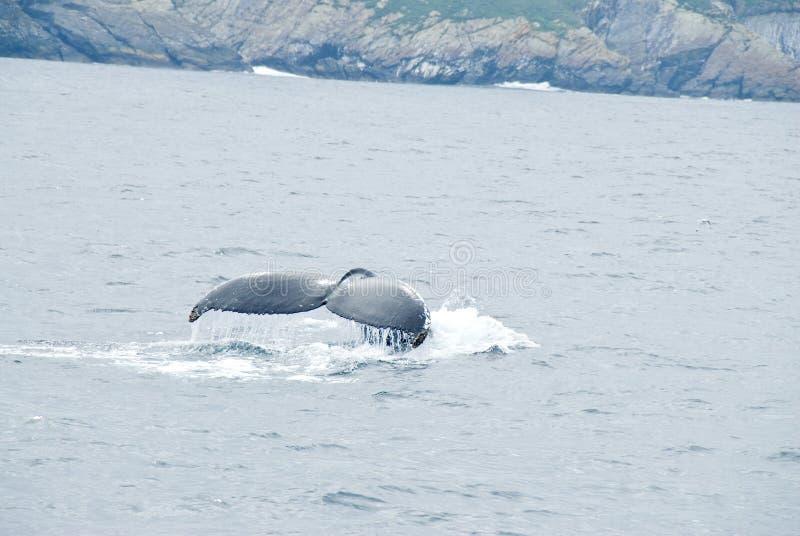 humpback wieloryb obraz royalty free