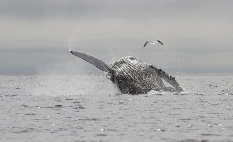 Humpback wieloryb który skacze z wody i up obraz royalty free
