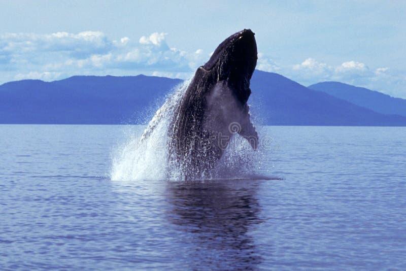 Humpback wieloryb narusza Alaska, południe (Megaptera novaeangliae) fotografia royalty free