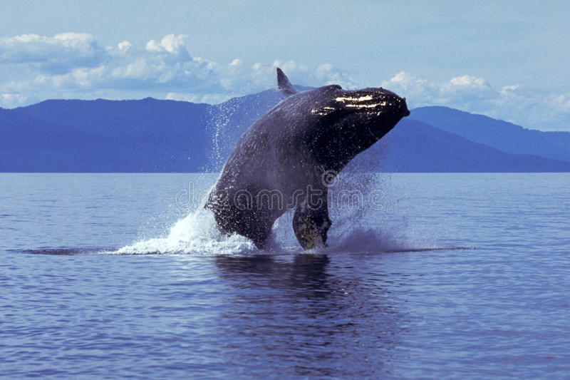Humpback wieloryb narusza Alaska, południe (Megaptera novaeangliae) fotografia stock
