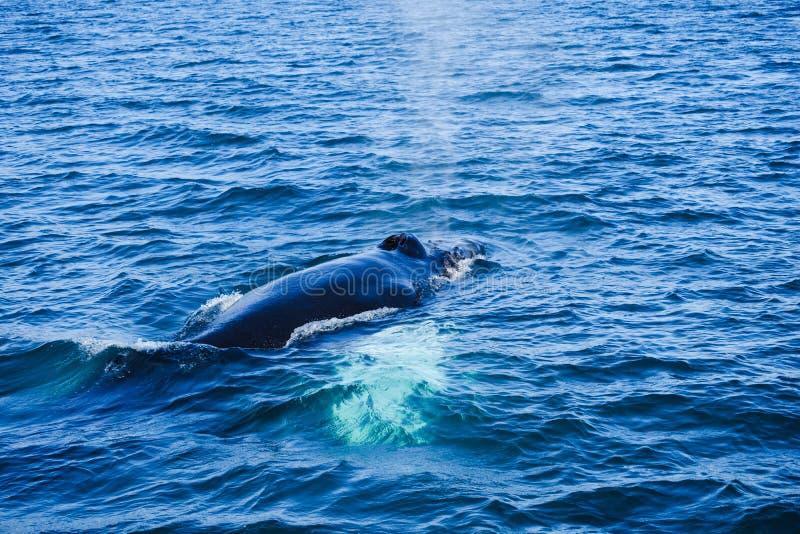 Humpback wieloryb narusza, na wielorybiej dopatrywanie wycieczce na Iceland, zdjęcia stock