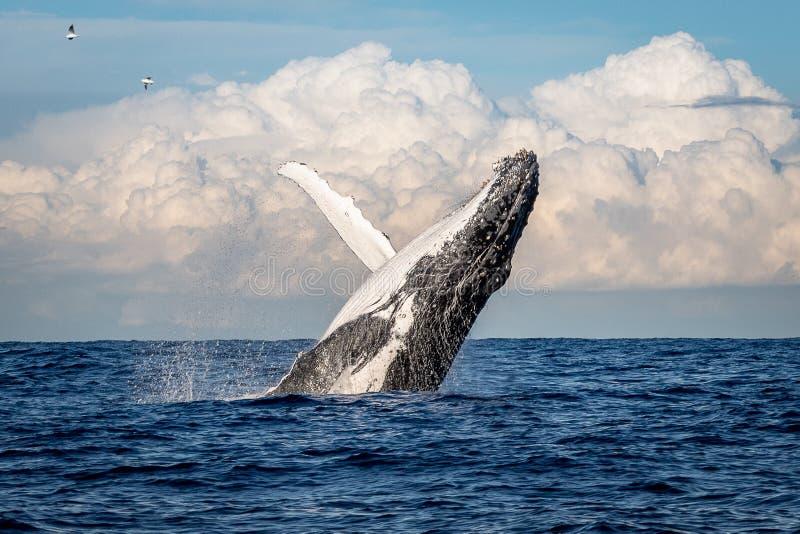 Humpback wieloryb narusza z Walecznej plaży, Sydney, Australia obraz stock