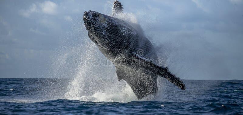 Humpback wieloryb skacze z wody piękny skok Rzadka fotografia Madagascar St ` s Maryjna wyspa zdjęcie stock