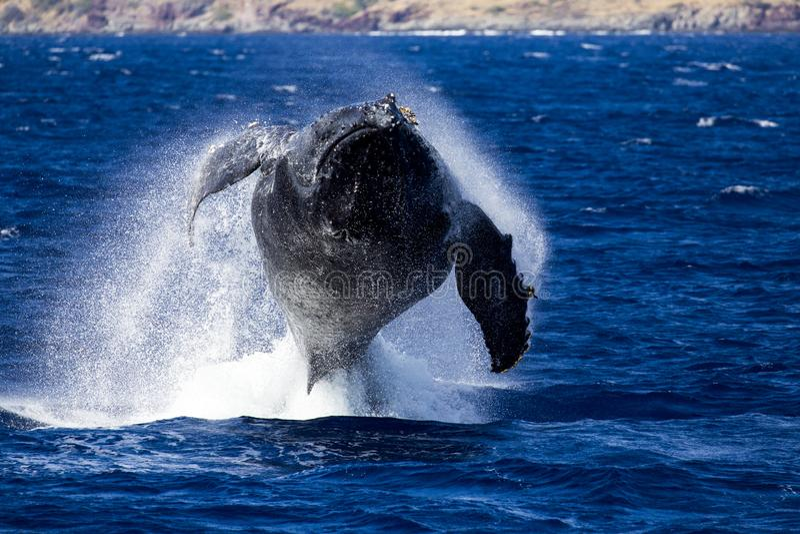 Humpback wieloryb skacze zdjęcia stock