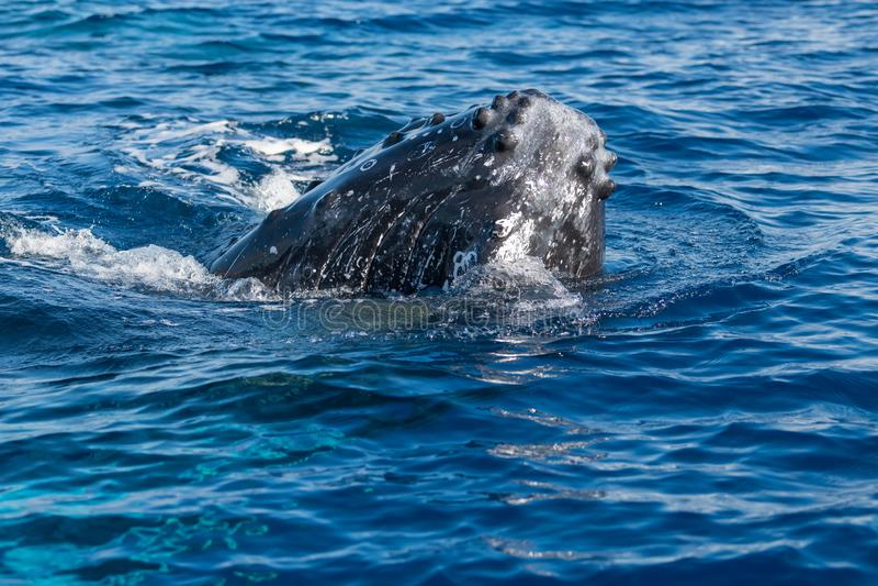 Humpback wieloryb spyhopping zdjęcia stock