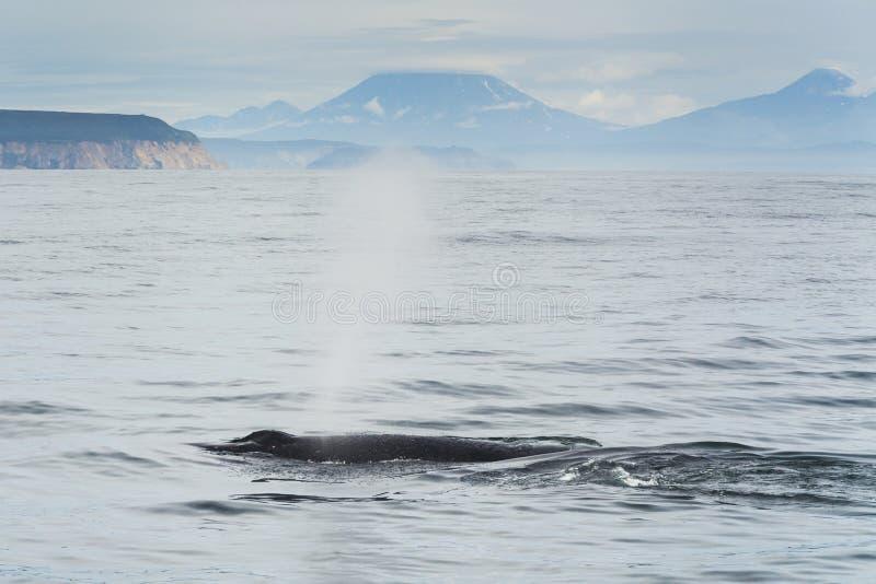 Humpback wieloryb w Pacyficznym oceanie zdjęcia stock