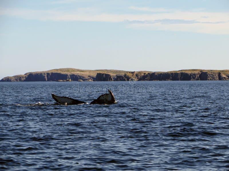 Humpback wieloryb zanurza z wybrzeża Bonavista Newfoundla zdjęcie stock