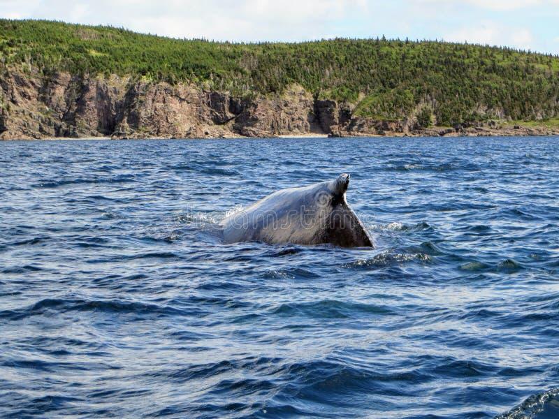 Humpback wieloryb zanurza z wybrzeża Bonavista Newfoundla fotografia royalty free