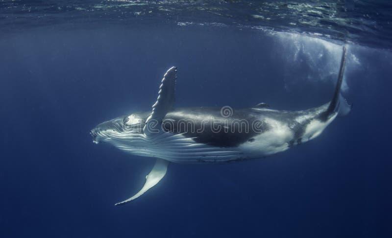 Humpback wieloryba łydka zdjęcie stock