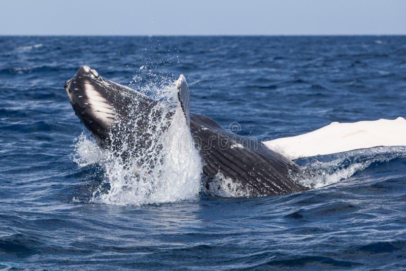 Humpback wieloryba łydka przy sztuką obrazy royalty free