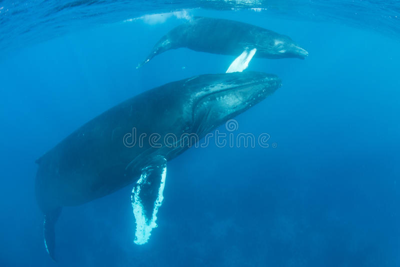 Humpback wieloryba łydka w morzu karaibskim i matka zdjęcie royalty free