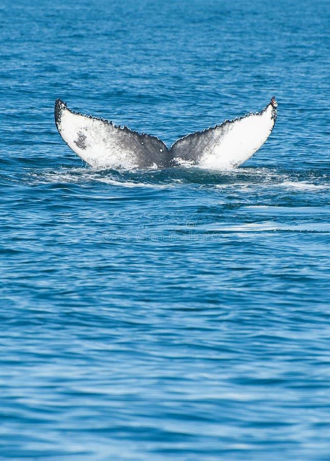 Humpback wieloryba żebro zdjęcia royalty free