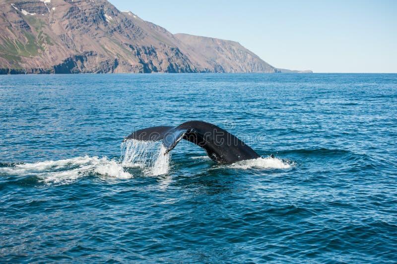 Humpback wieloryba żebro fotografia royalty free