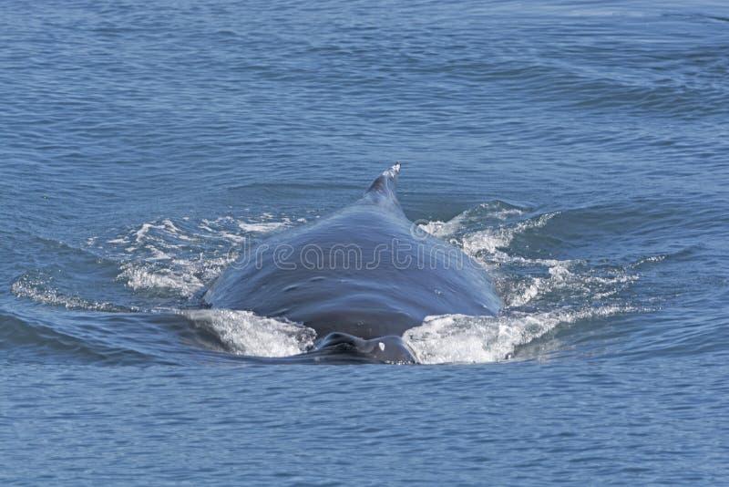 Humpback wieloryba chodzenia post na powierzchni obraz royalty free