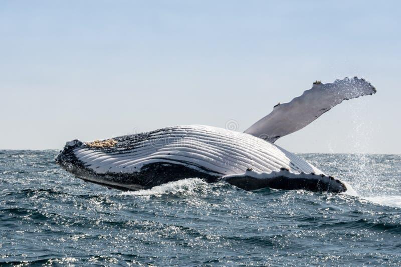 Humpback wieloryba doskakiwanie, Ekwador zdjęcia royalty free