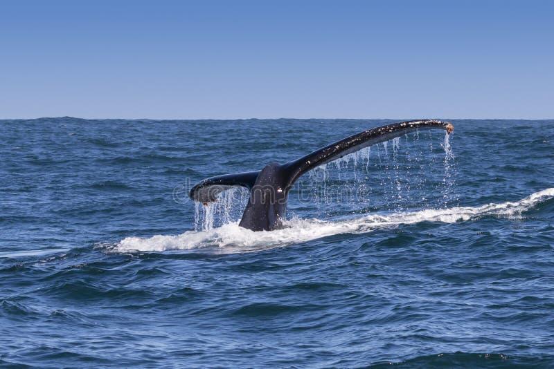 Humpback wieloryba fuks obrazy royalty free