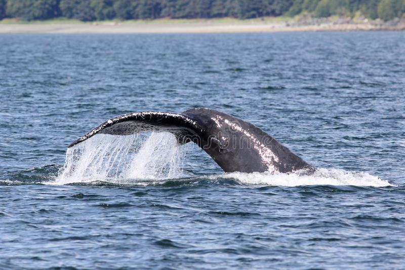 Humpback wieloryba fuks zdjęcie stock