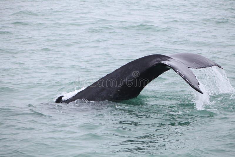 Humpback wieloryba Megaptera novaeangliae widzieć od łodzi blisko zdjęcia royalty free