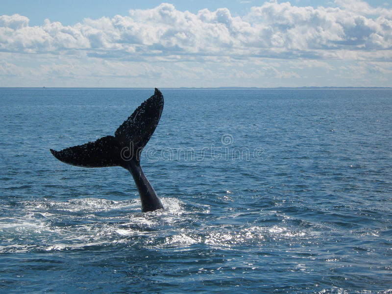 Humpback wieloryba ogon zdjęcia royalty free