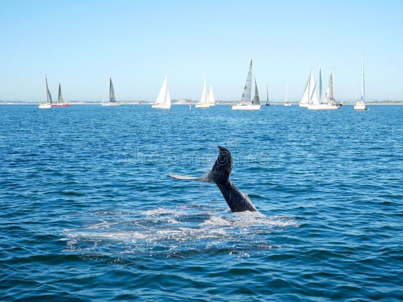 Humpback wieloryba ogon i żeglowanie łódź fotografia stock