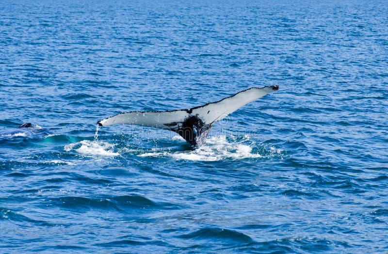 Humpback wieloryba ogon narusza, na wielorybiej dopatrywanie wycieczce na Iceland, zdjęcia royalty free