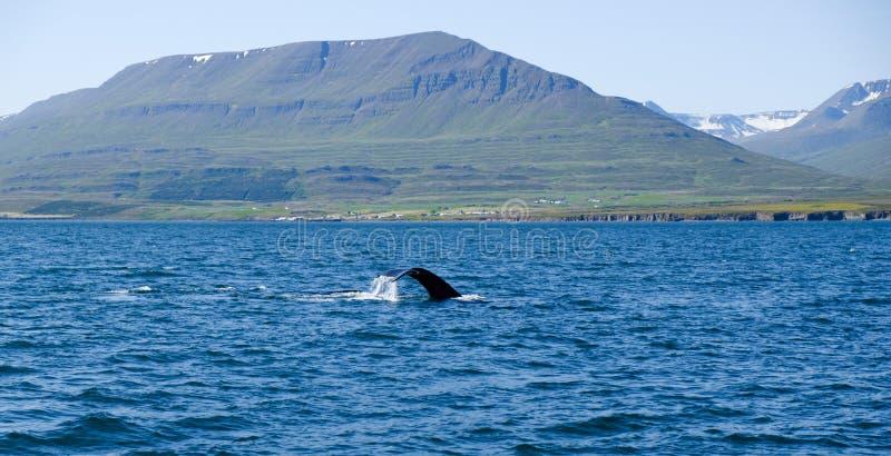 Humpback wieloryba ogon narusza, na wielorybiej dopatrywanie wycieczce na Iceland, zdjęcie royalty free
