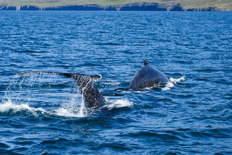 Humpback wieloryba ogon narusza, na wielorybiej dopatrywanie wycieczce na Iceland, obrazy royalty free