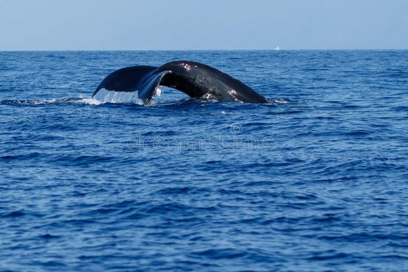 Humpback wieloryba ogonu fuks zdjęcia royalty free