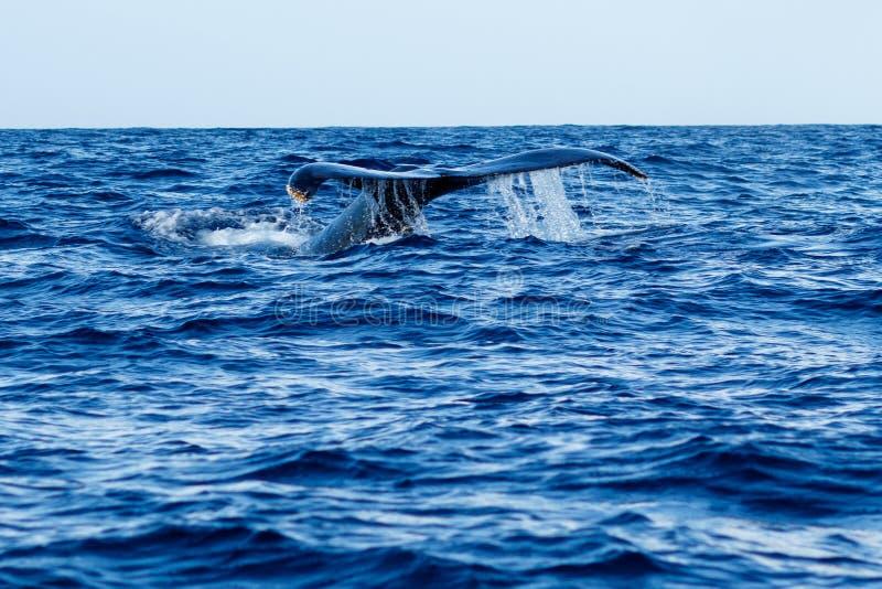 Humpback wieloryba ogonu fuks obraz royalty free