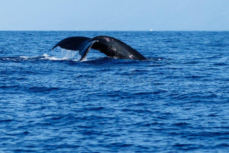 Humpback wieloryba ogonu fuks fotografia royalty free