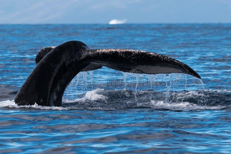 Humpback wieloryba ogonu fuks blisko Lahaina w Hawaje zdjęcie stock