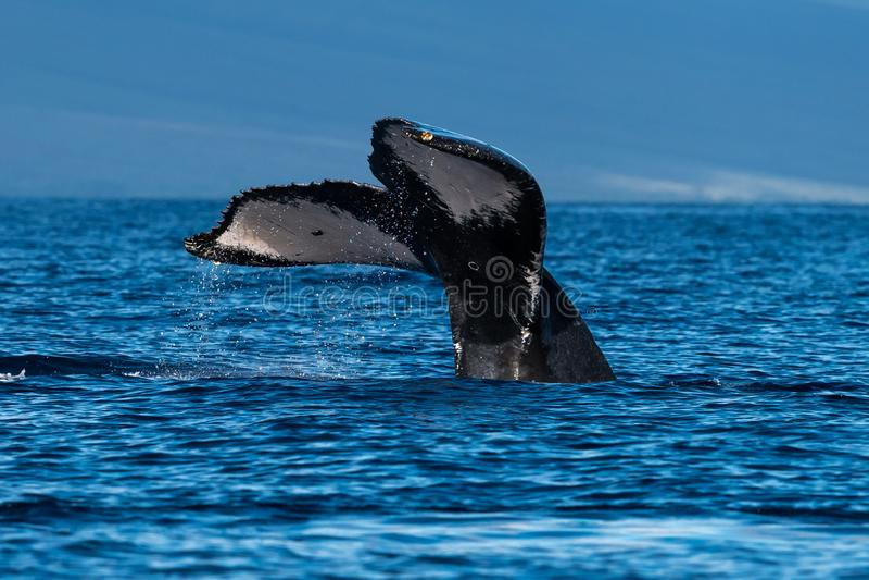 Humpback wieloryba ogonu fuks blisko Lahaina w Hawaje obraz royalty free