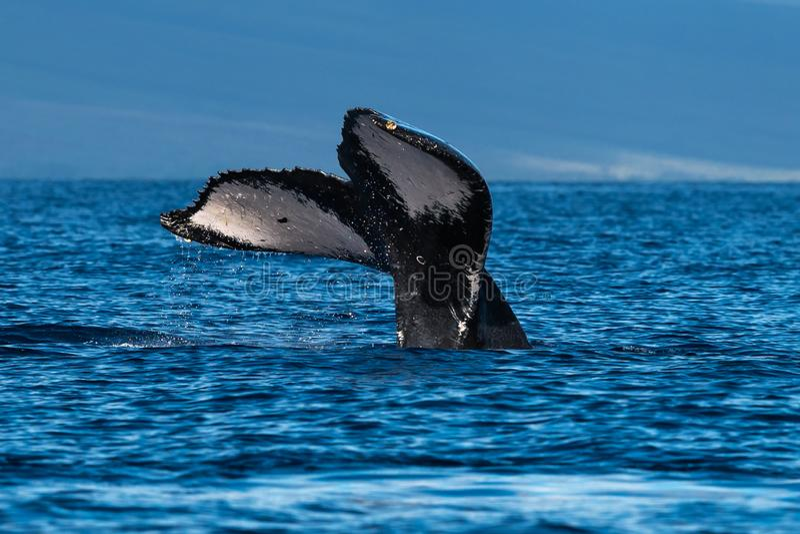 Humpback wieloryba ogonu fuks blisko Lahaina w Hawaje obrazy royalty free