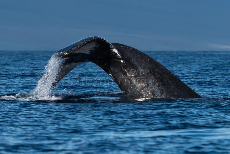 Humpback wieloryba ogonu fuks blisko Lahaina w Hawaje zdjęcie royalty free