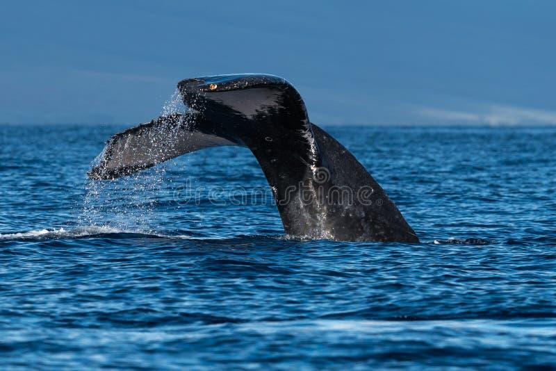 Humpback wieloryba ogonu fuks blisko Lahaina w Hawaje zdjęcia royalty free