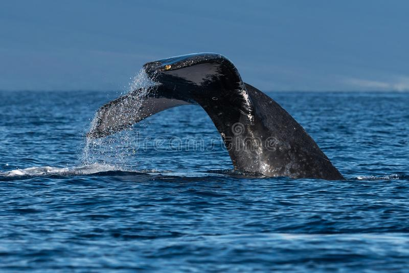 Humpback wieloryba ogonu fuks blisko Lahaina w Hawaje fotografia stock