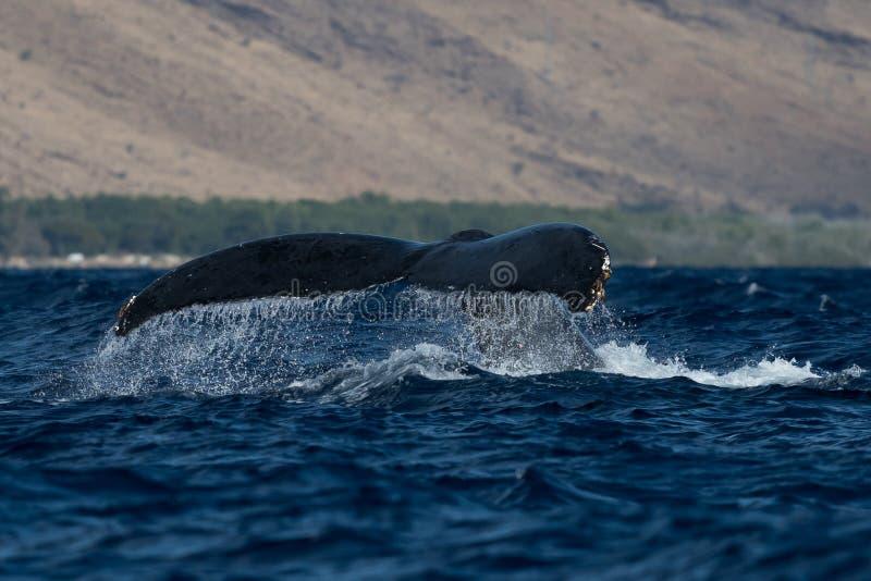 Humpback wieloryba ogonu fuks zdjęcie royalty free