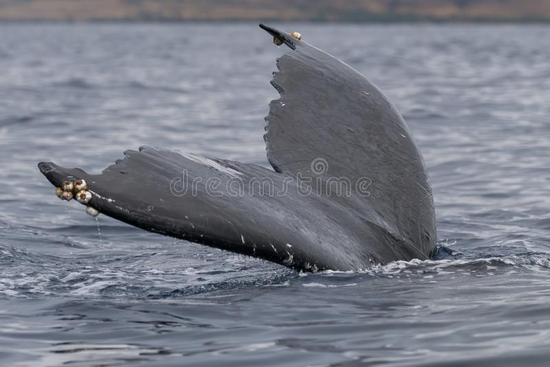 Humpback wieloryba ogonu fuks obraz stock