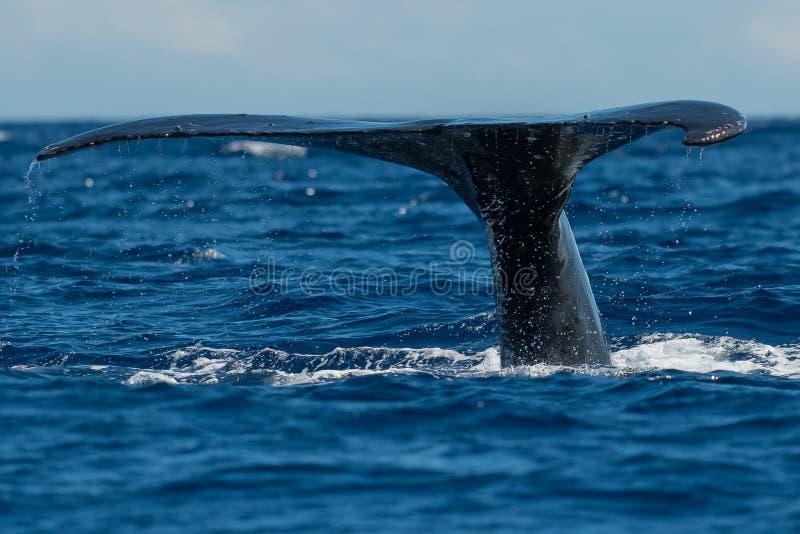 Humpback wieloryba ogonu fuks zdjęcia stock